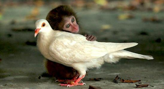 hug-monkey-dove1