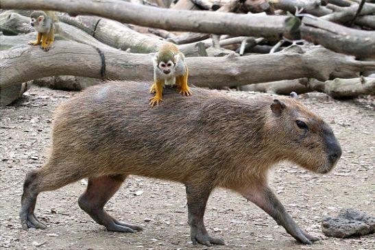 Oddest-Animal-Couples-14