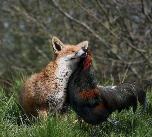 unlikely-animal-friends-fox-cockerel