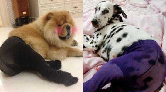 dog-wearing-pantyhose-2